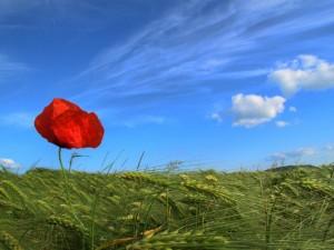 Poppies-300x225